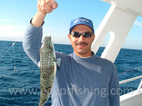 Red Sea Blow fish (Arothron Stellatus)(Blowfish, Puffer fish, Fugu, or Fuku ), Gulf of Suez (Golf von Suez)