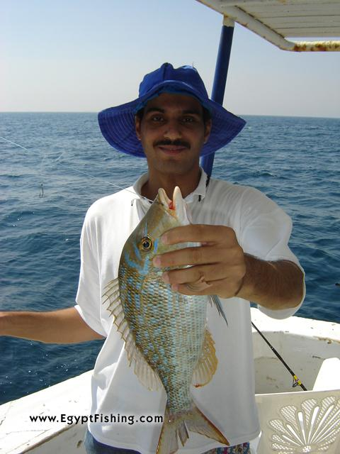 Egypt Fishing Photo of Emperor Fish (Lethrinus Nebulosus) Egypt Angeln Photo:Gulf of Suez