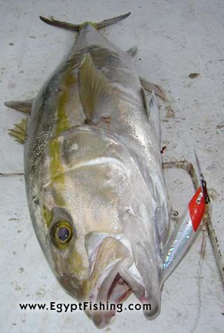 Picture of Egyptian Amberjack (Seriola dumerili): Deep sea trolling, Gulf of Suez