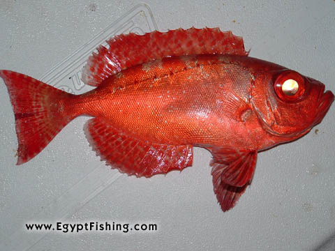 Rot Meer: Picture of Hawaiian Bigeye (Hawaiian Big Eye Fish) (Priacanthus Meeki) (bigeye), or Catalufa рыбы