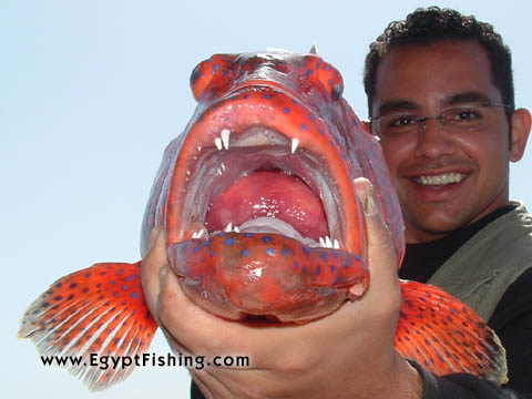 Saddle Grouper, deep sea fishing in the Red Sea in Sharm El-Sheikh سمكة الناجل في شرم الشيخ