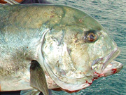Link to Giant Trevally Fish Photo Page